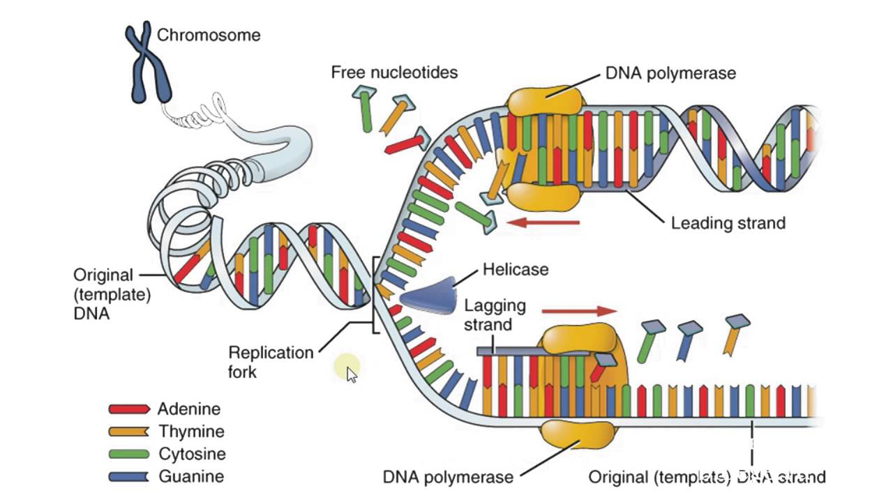dna replication at the A dna polymerases b helicases c single-stranded binding proteins d topoisomerases answer: b 12 during dna replication in prokaryotes, synthesis begins on the circular chromosome a always at the same place b at any stretch of dna that is high in at pairs c randomly on the chromosome d.