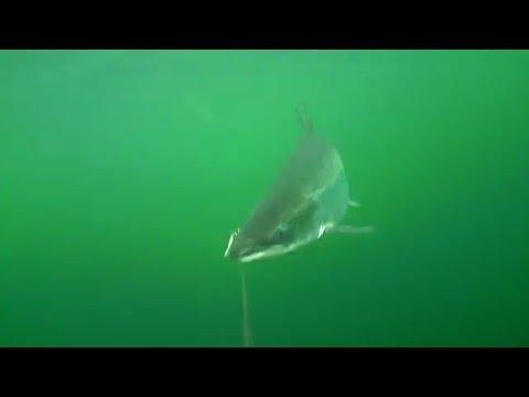 Laks Water Wolf Trolling klip 2