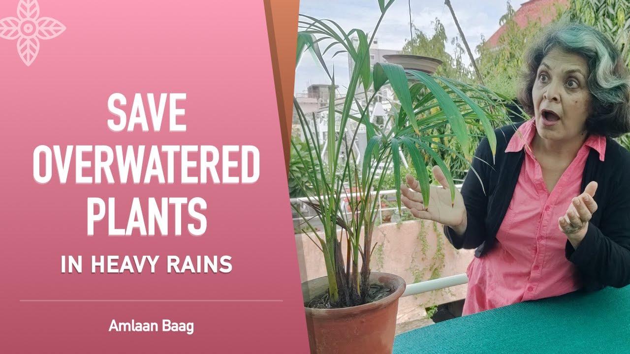 Save Overwatered Plants In Heavy Rains | पानी से भरे गमले में पौधे को कैसे बचाएं?