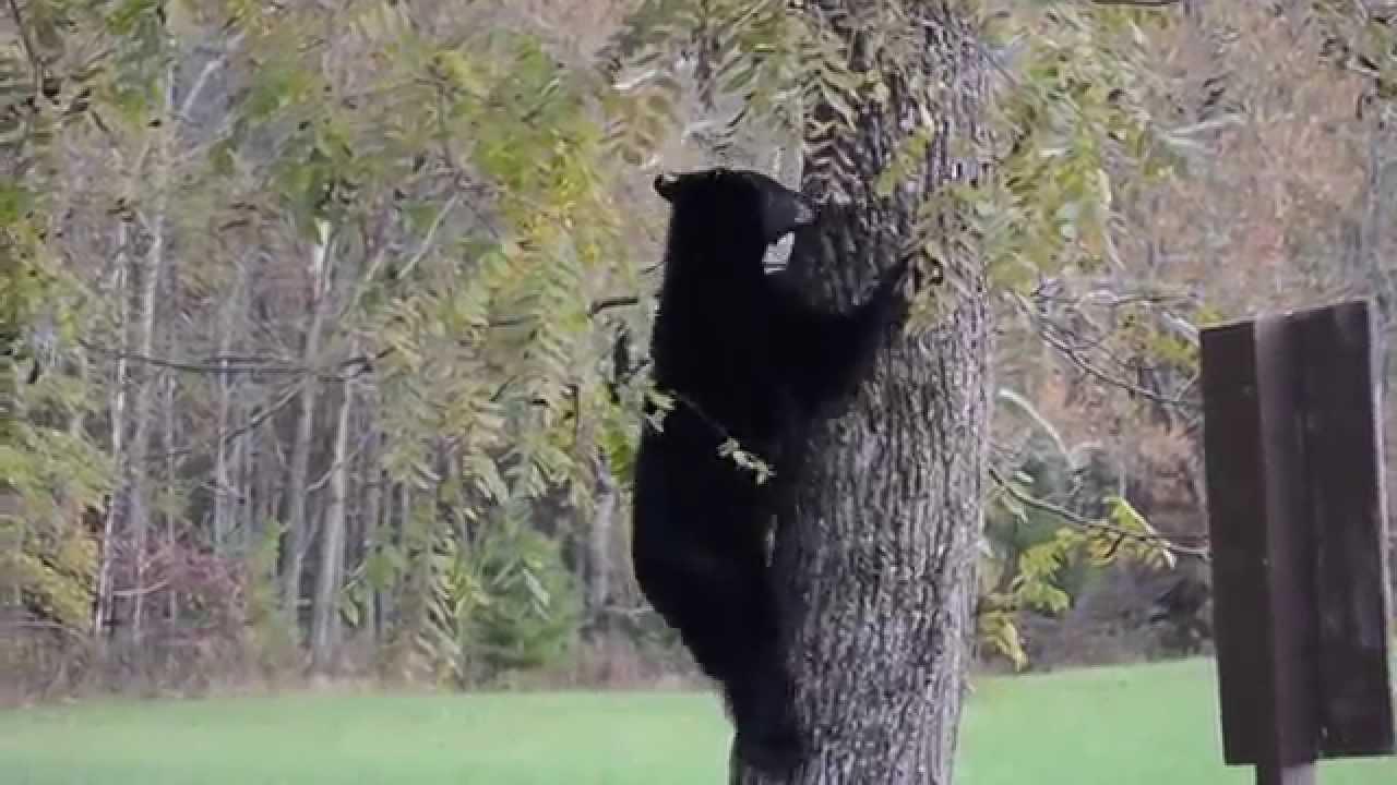 black bear climbing tree youtube