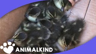 Baby Ducks Rescued From Storm Drain | Animalkind