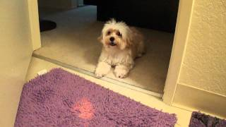 My Funny Maltese/terrier Doggy