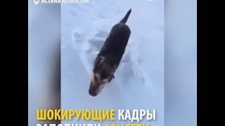 В Казахстане собаки замерзают на ходу из-за сильных морозов.  Температура воздуха упала до -50.