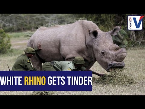 The world's last male northern white rhino gets some help from Tinder