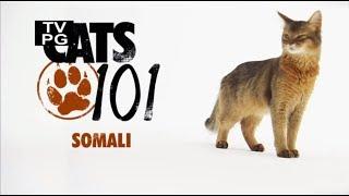 Сомалийская кошка 101Kote.ru Somali 101Cats