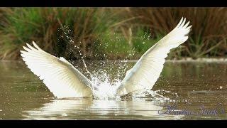 Great egret (Ardea alba), Silberreiher, hunting, fish, 4K/UHD YouTube Videos
