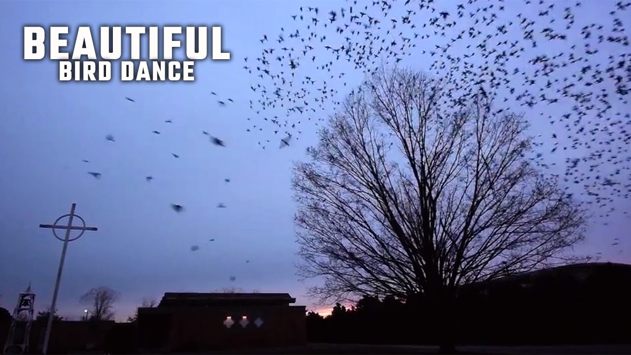 Blackbird murmurations explained: Why you see thousands