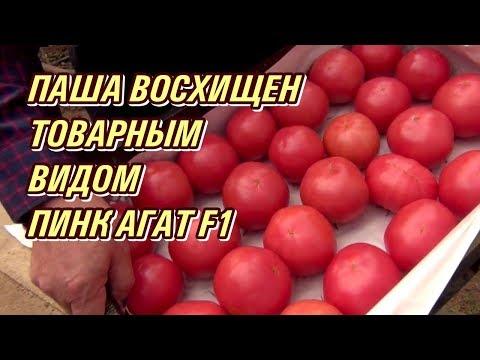 Розовый томат ПИНК АГАТ F1.  Паша восхищен товарным видом помидора