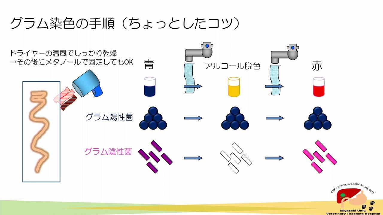 グラム 染色 方法