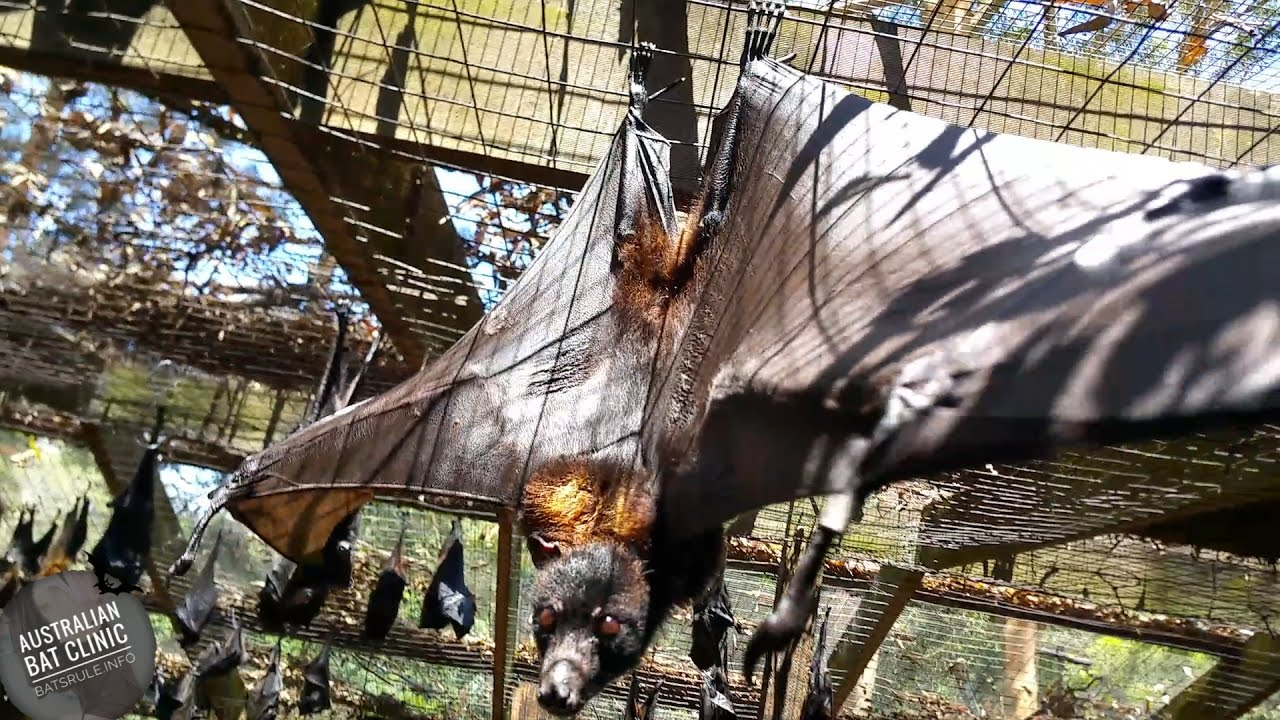 megabats rescued in care getting some sun flying foxes fruit bats