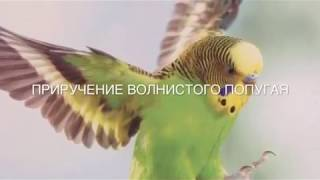 Как приручить волнистого попугая?😊