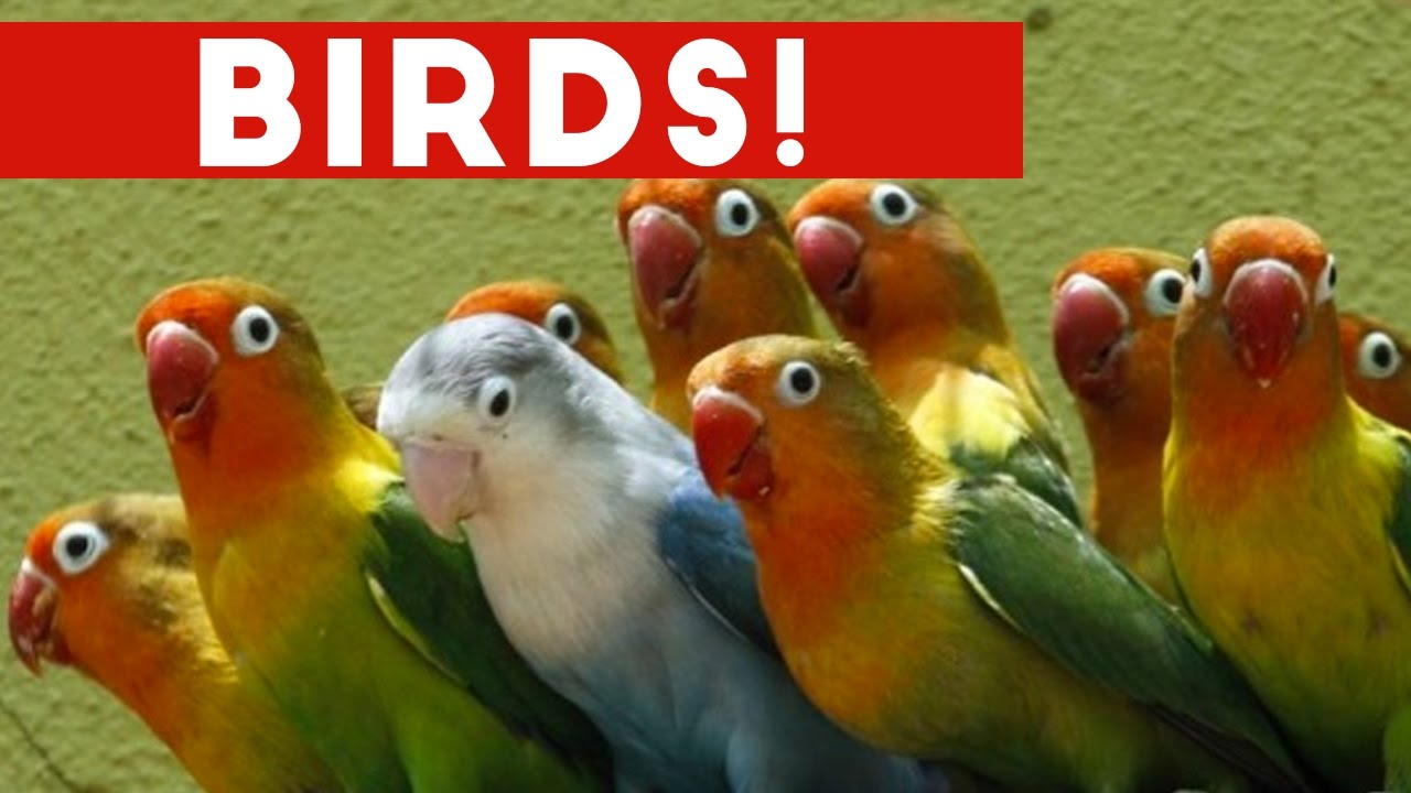 Funniest bird videos weekly compilation 2017 funny pet videos youtube - Funny bird pics ...