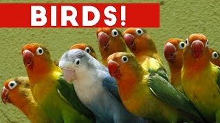 Funniest Bird Videos Weekly Compilation 2017 | Funny Pet Videos