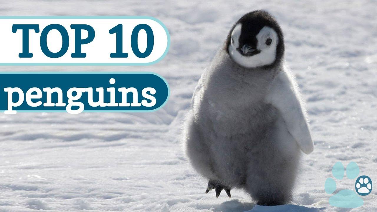 Top 10 Cutest Penguins