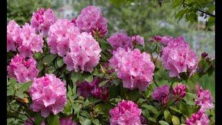 Poda de rododendros - Decogarden Mp3