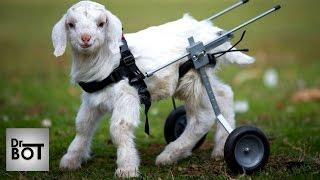 10 ADORABLES ANIMAUX EN FAUTEUIL ROULANT