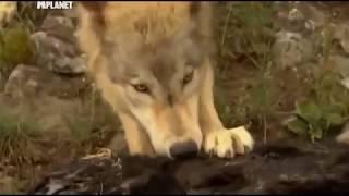 Животные людоеды. Волки.