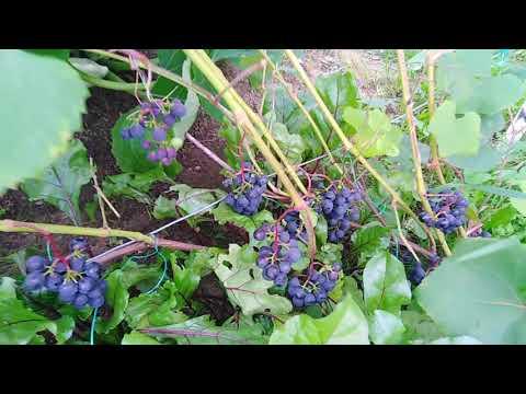 Неудачное место посадки винограда в Подмосковье будет расти?