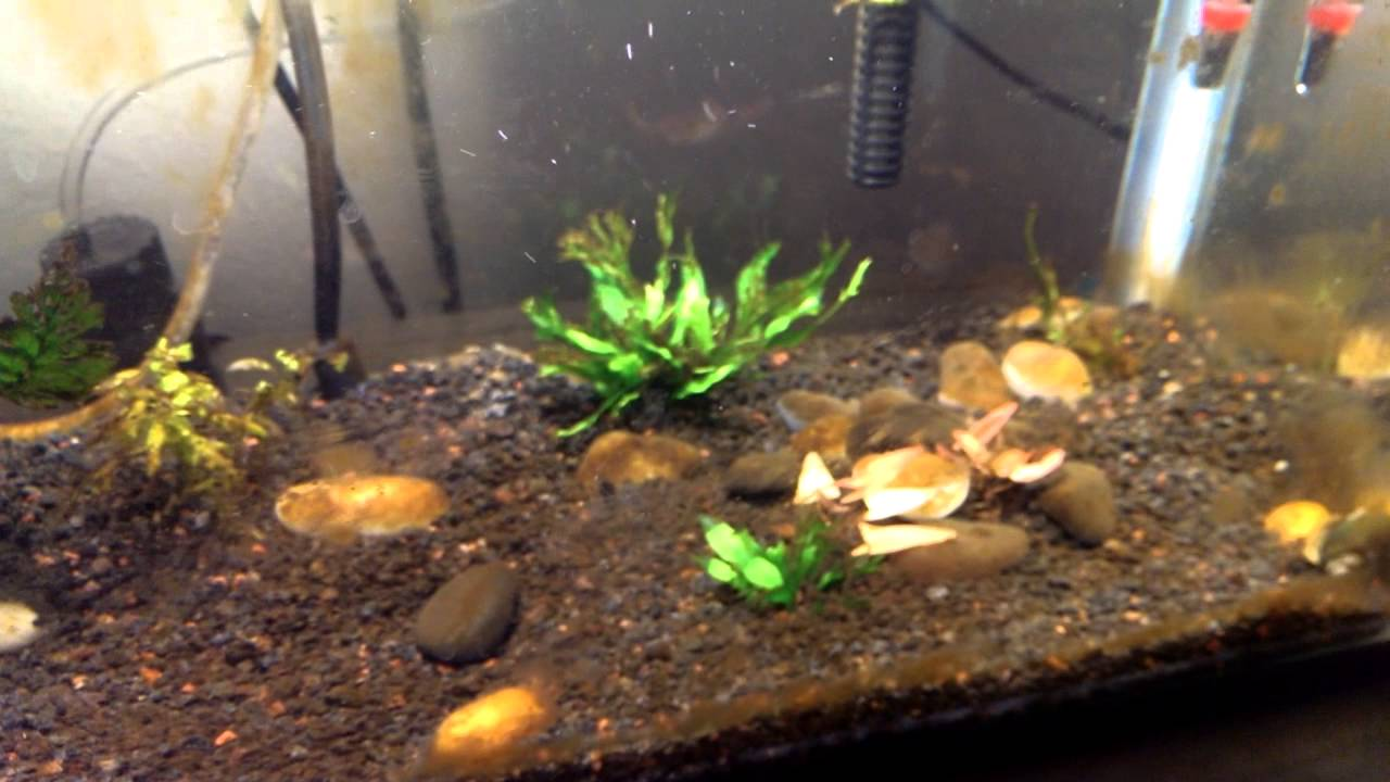 What is the brown algae in a fish tank?