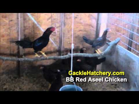 Black Breasted Red Aseel Chicken Breed (Breeder Flock) | Cackle Hatchery