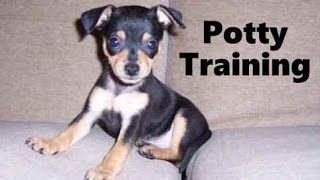 How To Potty Train A ChiPin Puppy - ChiPin House Training Tips - Housebreaking ChiPin Puppies Fast