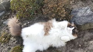 Timo The Ragdoll Cat Doesn't Want To Go Inside (funny)