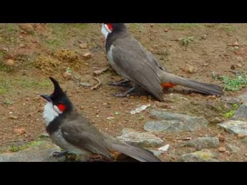 Keo bẫy chim sẻ và chim chào mào  Dính 100%