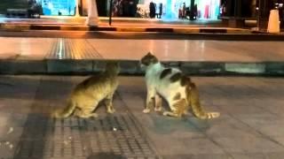 Египетские кошки дерутся.