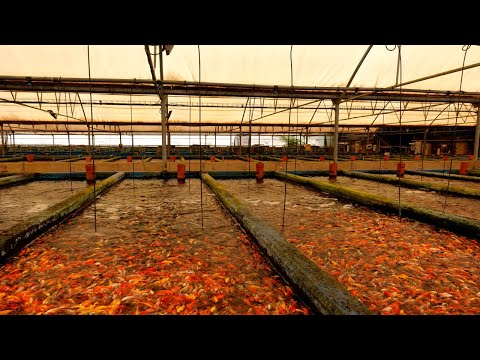 CRAZY! Millions of fish at these farms.