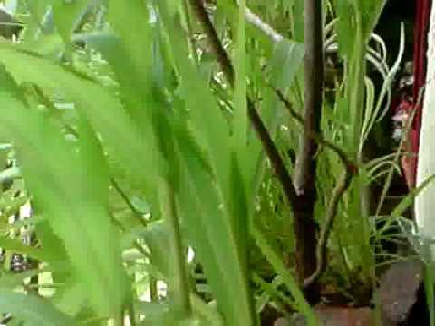 Proso millet - Mashpedia Free Video Encyclopedia