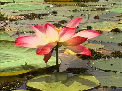 Lotus Flower Padma Flowers In Bangladesh 5 Youtube