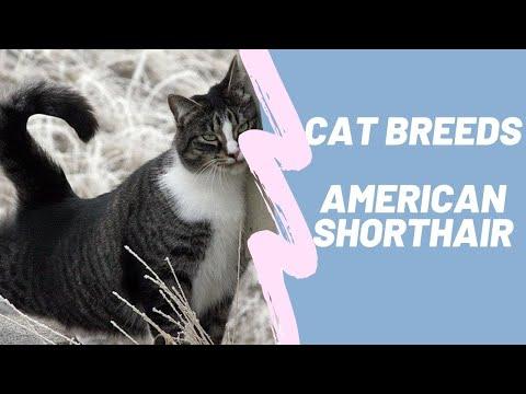 AMERICAN SHOTHAIR - CAT BREEDS
