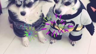 видео одежда для собак