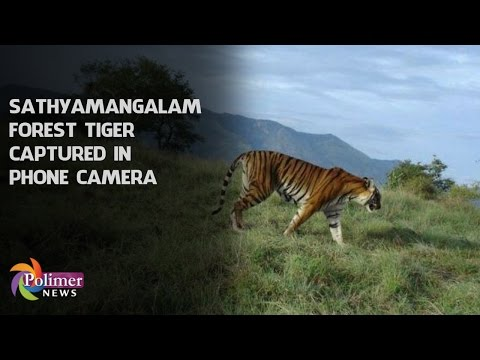Sathyamangalam Forest Tiger captured on phone camera | Polimer News