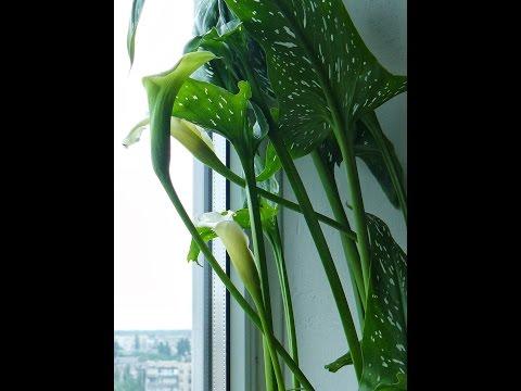 Каллы ✅ Клубневые растения - Выращивание и уход