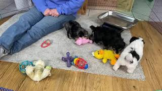 Megan's Schnoodle puppies 1/11/20 This litter is sold