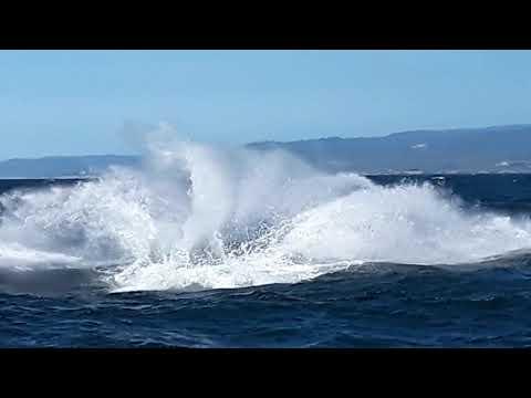 Orca 'Fatfin' breaching 4/14/2019