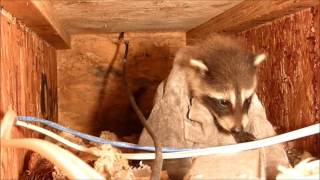 Removing Baby Raccoons From a Ceiling