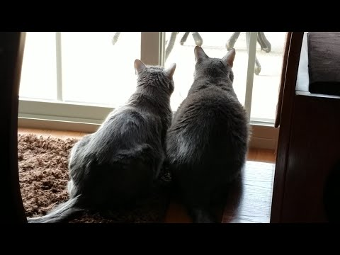 Cats React In Unison While Watching A Robin - Jericho & Thunder