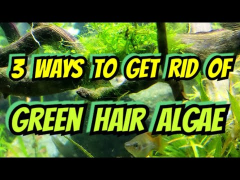 Green Hair Algae - How To Get Rid Of It FOREVER... Just Kidding. Here Are 3 Ways To Get Rid Of It!