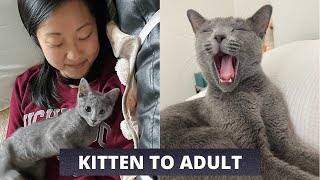 How our Russian Blue changed from Kitten to Adulthood