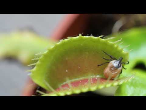 Venus Flytrap CRUSHES Tick   (Macro shot with Canon EOS 7D + MPE-65)
