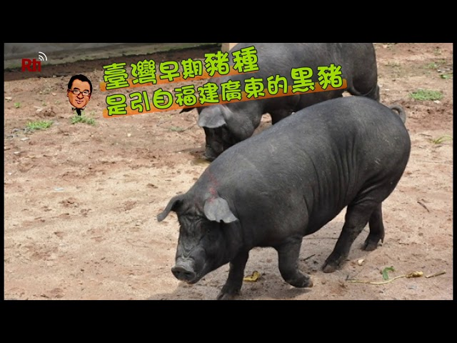 日本鹿兒島─六白豬篇 魚夫行腳‧畫說台灣#37