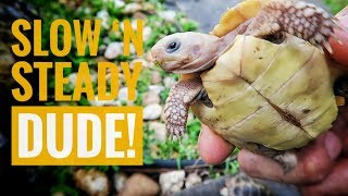 How fast is too fast for tortoise growth?