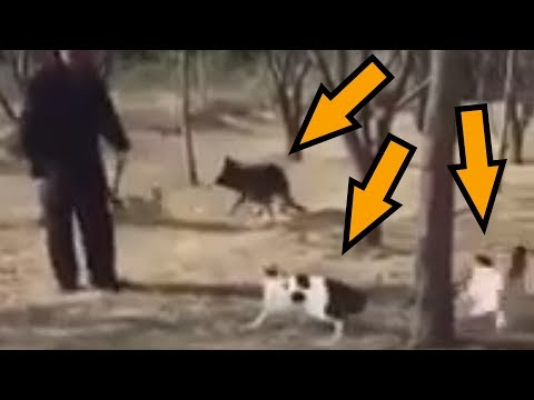 Group of Cats attack Dog and Man – Animals Being Jerks Shorty #30