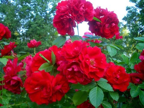 Розы для начинающих. Весеннее пробуждение