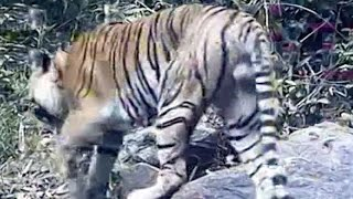 Extremely rare Indochinese tiger population discovered in Thailand