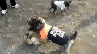 Shiba 20070225 Cairn Terrier