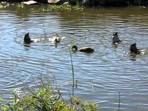 Rouen Ducks Diving