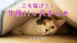 三毛猫ぽてと・生後11ヶ月まとめ動画【高画質】